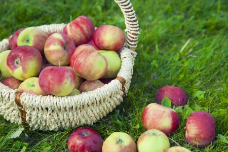 Photo of Organic Apples in the Basket. Stock Photo - 21751336