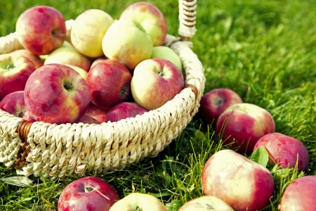 Organic Apples in the Basket. Stock Photo - 21751337
