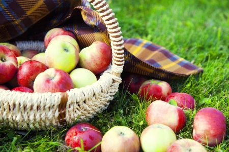 Organic Apples in the Basket. Stock Photo - 21751349