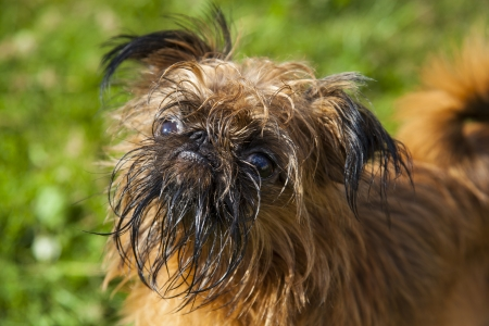 Bryuselskogo Griffon on a green background Stock Photo - 21751363
