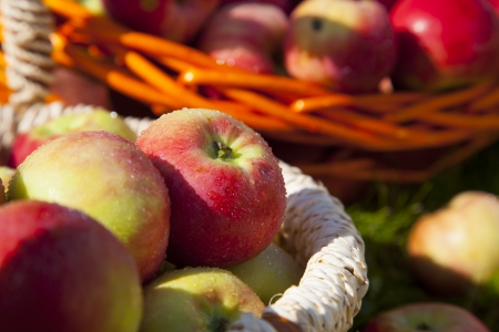 Organic Apples in the Basket. Stock Photo - 21751368
