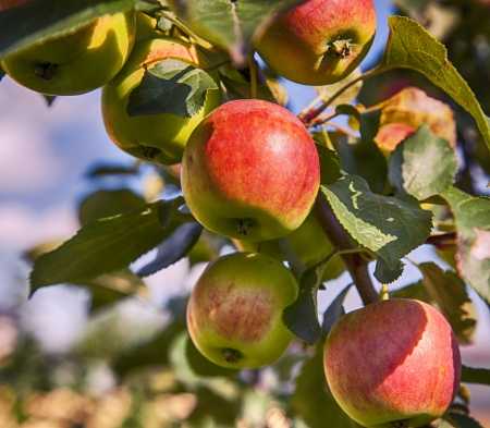 apples on an apple tree Stock Photo - 21751380