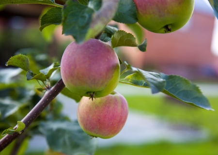 apples on an apple tree Stock Photo - 21751382