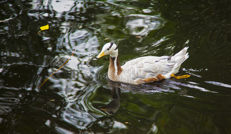 wildfowl: Photo duck swimming in the lake