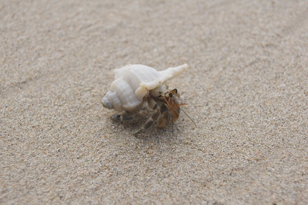 Andaman hermit crab on a white sand photo