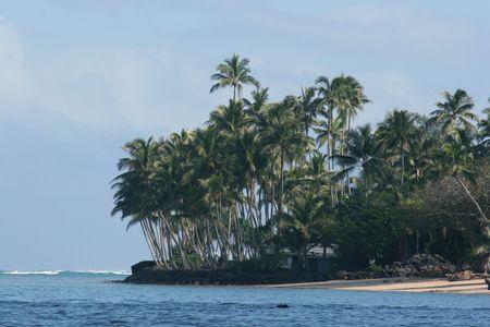 north shore: North Shore Coconut Trees