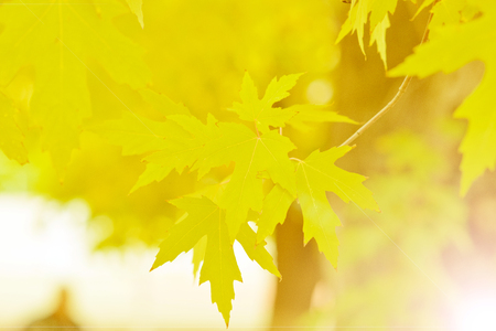 Yellowing maple leaves on a branch on a fine day of October.