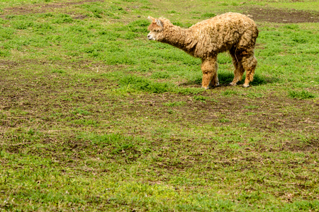 The Kelowna Alpacas on sparse spring grass after a short winter, she eating young grass.
