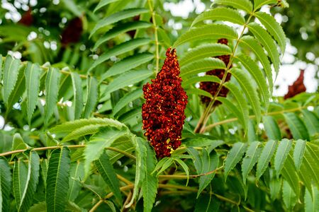 Large inflorescence of small red flowers sumac located among the branches with green leaves illuminated by sunlight.