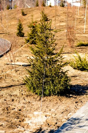 Young pines and fir trees. Alley of small green seedlings of Christmas trees, bushes in plant nursery. Growing plants in a botanical garden.