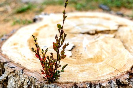 A small Bush with green leaves on a freshly sawn stump. Bush as a symbol of revival zhizni and destruction of forests around the world