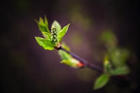dissolve: Dissolve kidney pears. Spring in the garden.