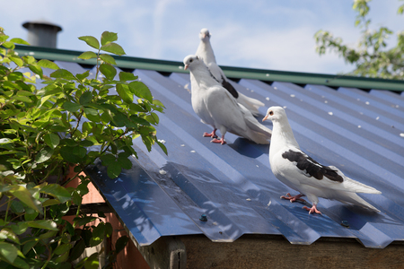 roosting: two grey pigeon sitting on the old street roof Stock Photo
