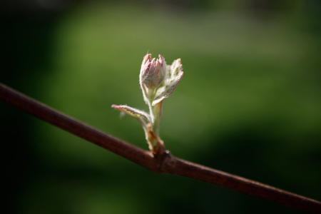spring bud: Grapes in early spring bud, after rain. Selective focus, close up, macro, background Stock Photo