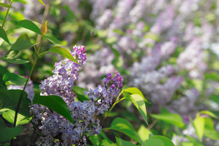 swaying: beautiful lilac branches swaying in the wind.