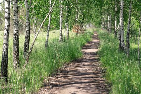 copse: Summer landscape. Path in the birch copse.