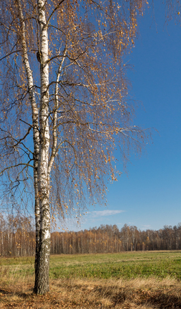 quaking aspen: Birch trees with fall colors losing their leaves in a country setting.