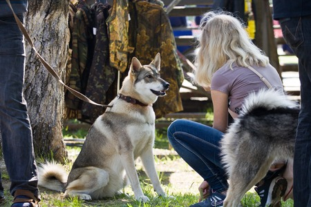 conformation: Gomel, Belarus - May 27: Exhibition of hunting dogs. competitions in conformation May 27, 2013 in Gomel, Belarus . Editorial