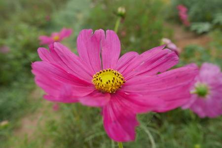 sulfur: Pink Sulfur Cosmos flower