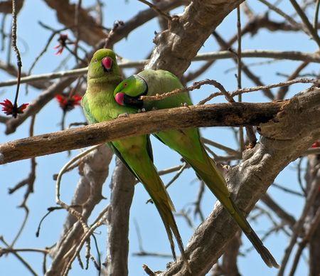 loros verdes: Un par de loros verdes, un macho y hembra. El apareamiento.  Foto de archivo