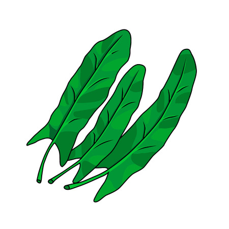 Three leaves of sorrel on a whiteback ground. Vector illustration.