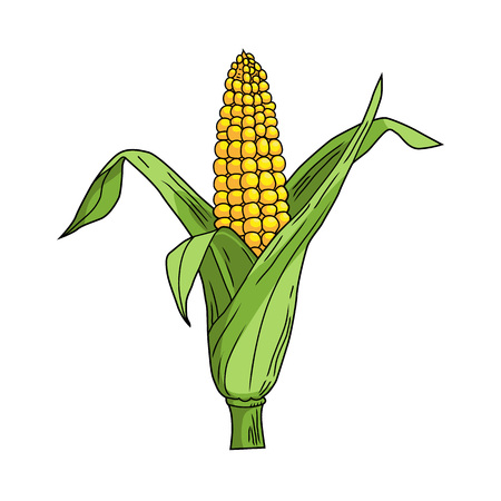 sweetcorn: Corncob with leaf on white background. Cartoon style. Yellow vegetable. Vector illustration