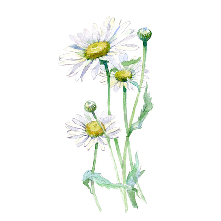 Watercolor Chamomile bouquet isolated on white background.