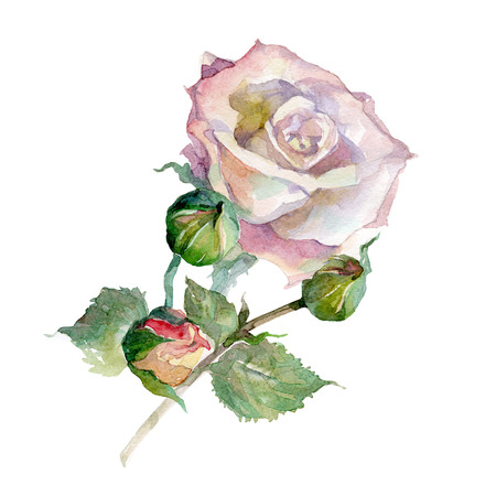 Watercolor Rose isolated on white background.