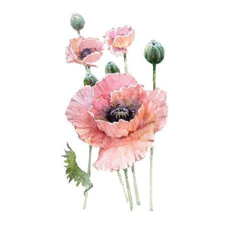 Pink poppy flower bouquet isolated on white background.