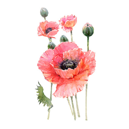 Red poppy flower bouquet isolated on white background.