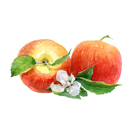 Watercolor Apples on a white background. Red apple illustration. Imagens