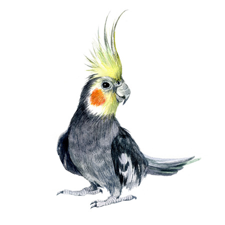 Watercolor Parrot cockatiel isolated on a white background illustration.