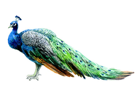 Watercolor peacock bird isolated on a white background illustration. Foto de archivo