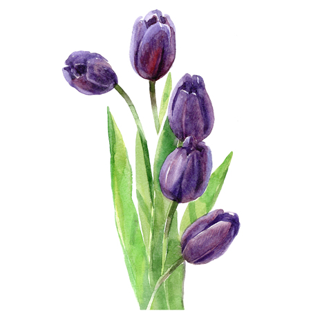 Watercolor bouquet of tulips isolated on a white background illustration.