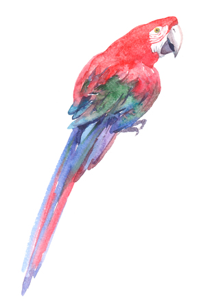 Watercolor realistic red parrot tropical bird animal isolated on a white background illustration. Stock Photo