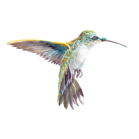 Watercolor realistic hummingbird, colibri tropical bird animal isolated on a white background illustration. Фото со стока