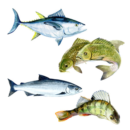 수채화 잉어, 연어, 퍼 치, 참치 물고기 흰색 배경에 고립의 집합 그림입니다.