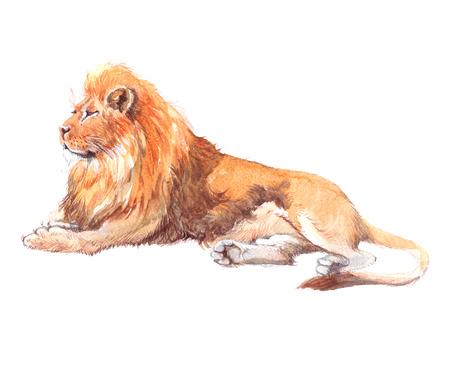 수채화 현실적인 사자 열 대 동물 그림 흰색 배경에 고립입니다.