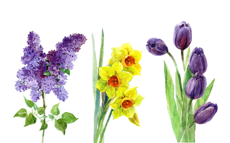 봄 꽃 수채화 라일락, 튤립, 수 선화 흰색 배경에 고립 된 집합. 스톡 콘텐츠