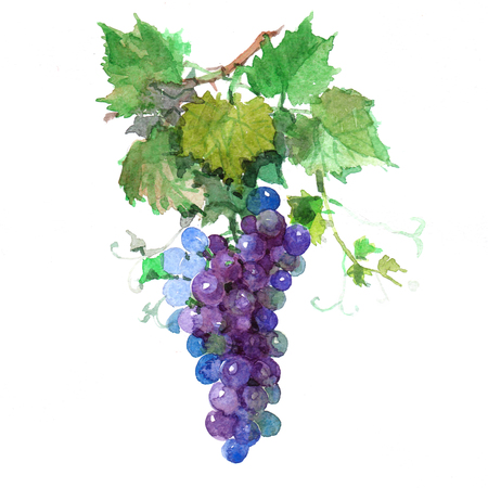 Watercolor grape bunch of green and dark grapes isolated on a white background illustration.