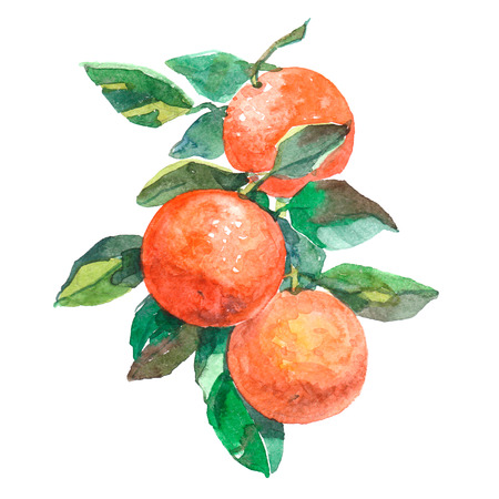 Watercolor branch with oranges fruits isolated on a white background illustration. Imagens