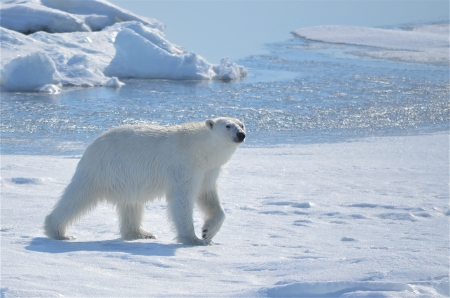 Polar bear at Svalbard  Norway  photo