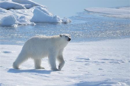 svalbard: Polar bear at Svalbard  Norway  Stock Photo