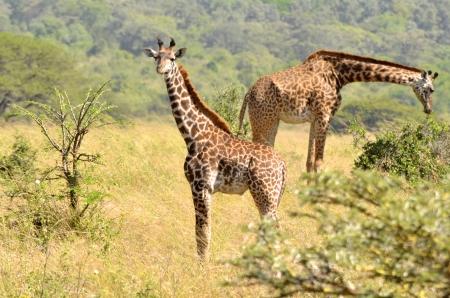 Mother and baby giraffe Stock Photo