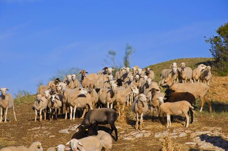 White, brown and black sheeps on the top of the hill. Autumn, Andalusia, Spain