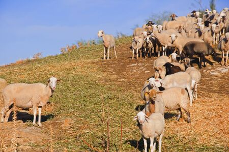 A flock of sheep on a hillside awaiting food, autumn. Andalusia, Spain Zdjęcie Seryjne