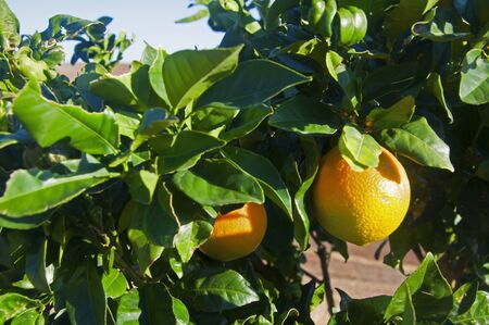 Two sunny orange fruits on the tree, sunny autumn day, Andalusia, Spain Stock fotó