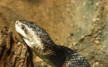 moccasin: cottonmouth snake Stock Photo