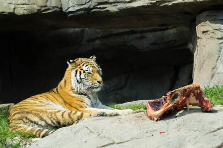 eyeing: tiger eyeing his next meal