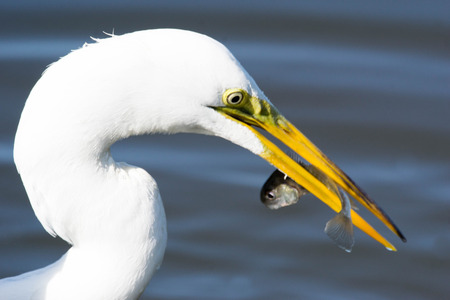 egret: great egret Stock Photo